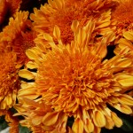 Chrysanthème dans le Jardin du Luxembourg en automne, Paris 6e (75)