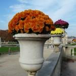 Potées de chrysanthème dans le Jardin du Luxembourg en automne, Paris 6e (75)