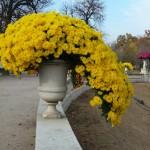 Potée de chrysanthème cascade dans le Jardin du Luxembourg en automne, Paris 6e (75)