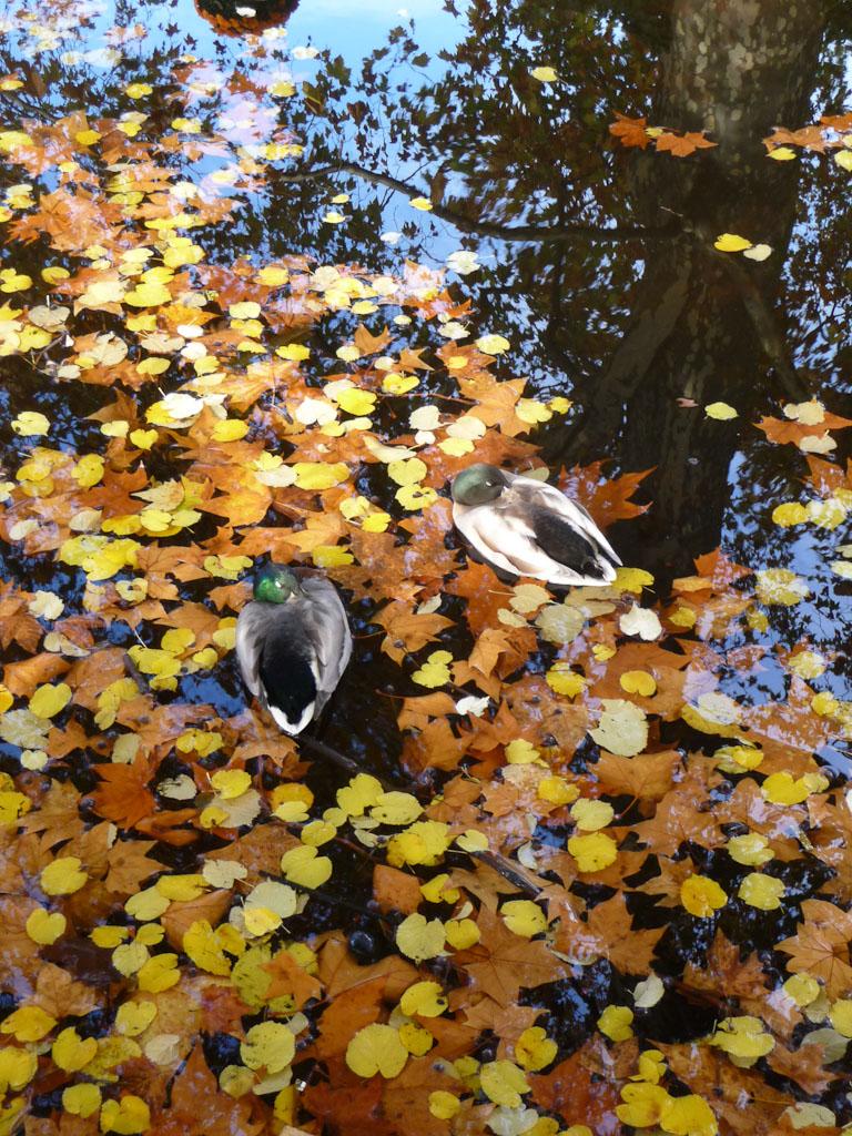 Feuilles mortes et canards endormis sur l'eau du bassin de la Fontaine Médicis, Jardin du Luxembourg en automne, Paris 6e (75)