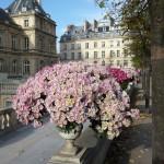 Vasque de chrysanthèmes dans le Jardin du Luxembourg en automne, Paris 6e (75)