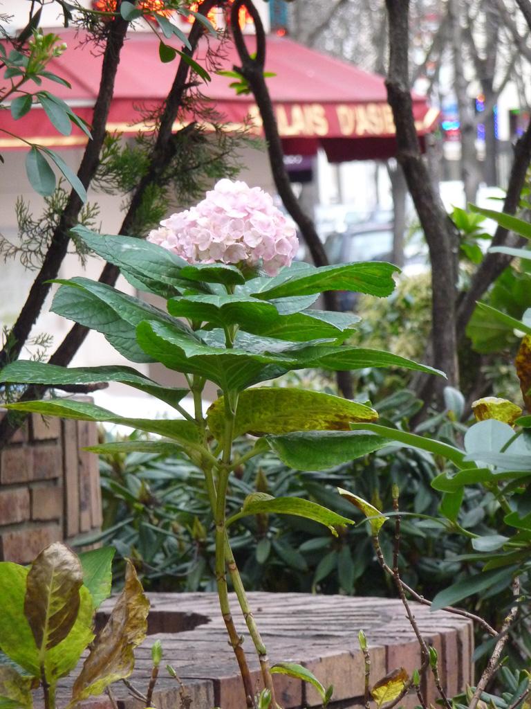 Hortensia fleuri en décembre dans la capitale