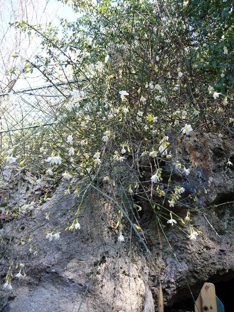 Fleurs gelées du jasmin d'hiver (Jasminum nudiflorum) dans le parc des Buttes-Chaumont, Paris 19e (75)