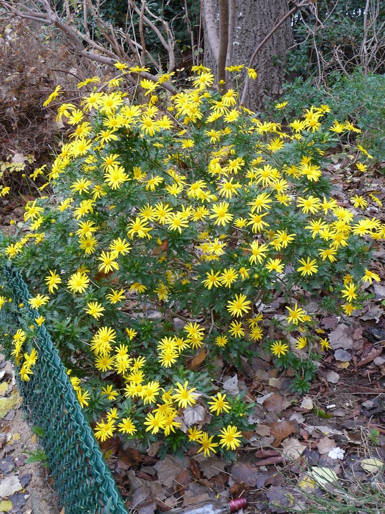Euryops chrysanthemoides dans le square des Missions Étrangères, Paris 7e (75)