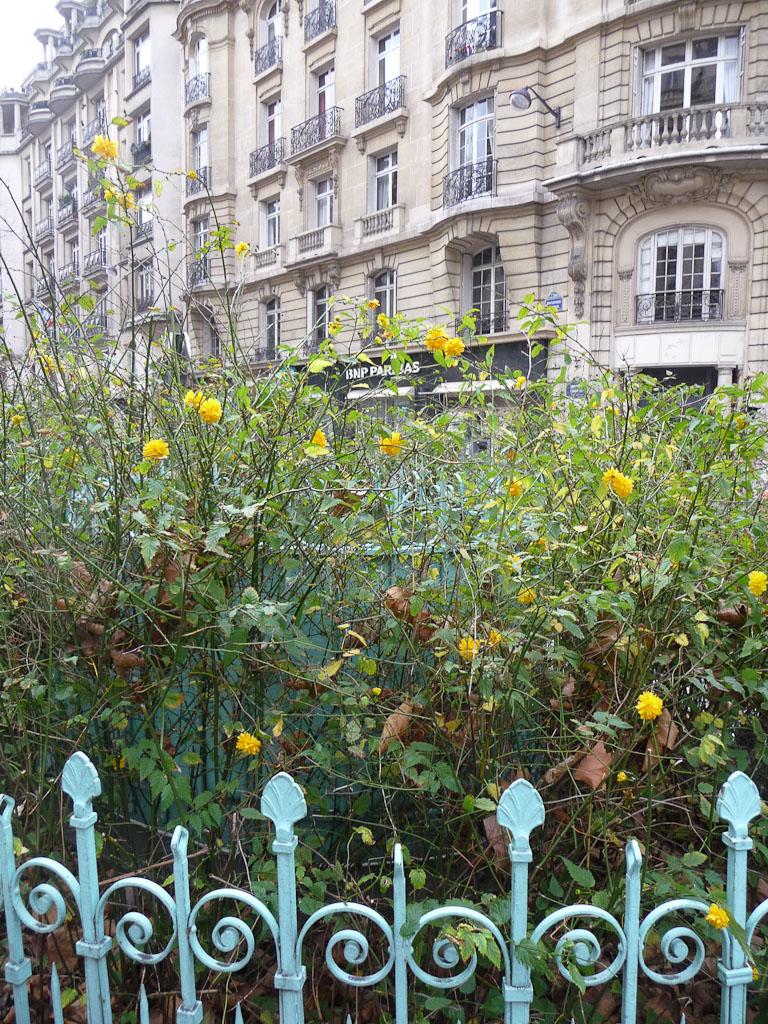 Corètes du Japon en décembre sur le boulevard Raspail, Paris 7e (75)