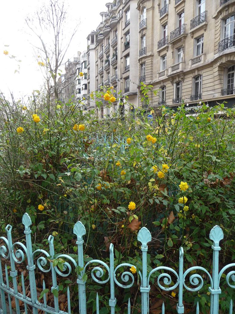 Corêtes du Japon fleuries sur le boulevard Raspail, Paris 7e (75)