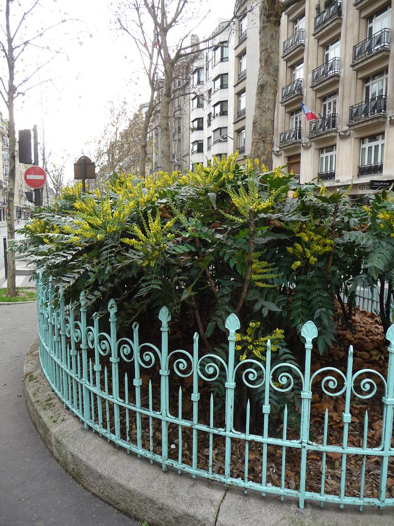 Mahonias fleuris en décembre sur le boulevard Raspail, Paris 7e (75)