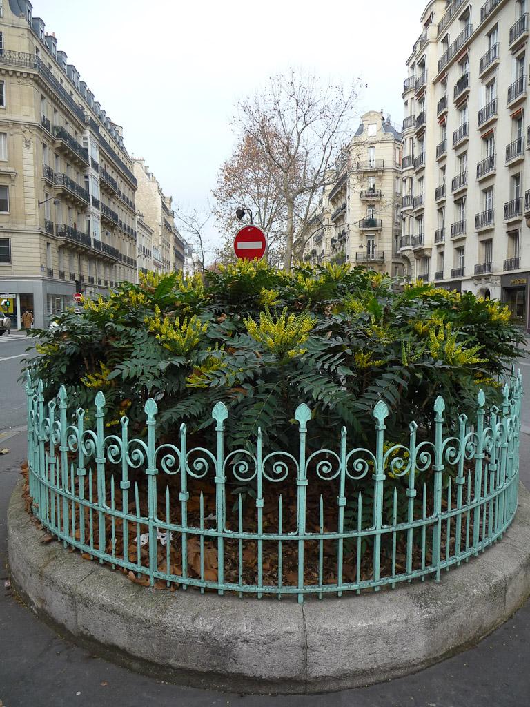 Mahonias fleuris sur le boulevard Raspail, Paris 7e (75)