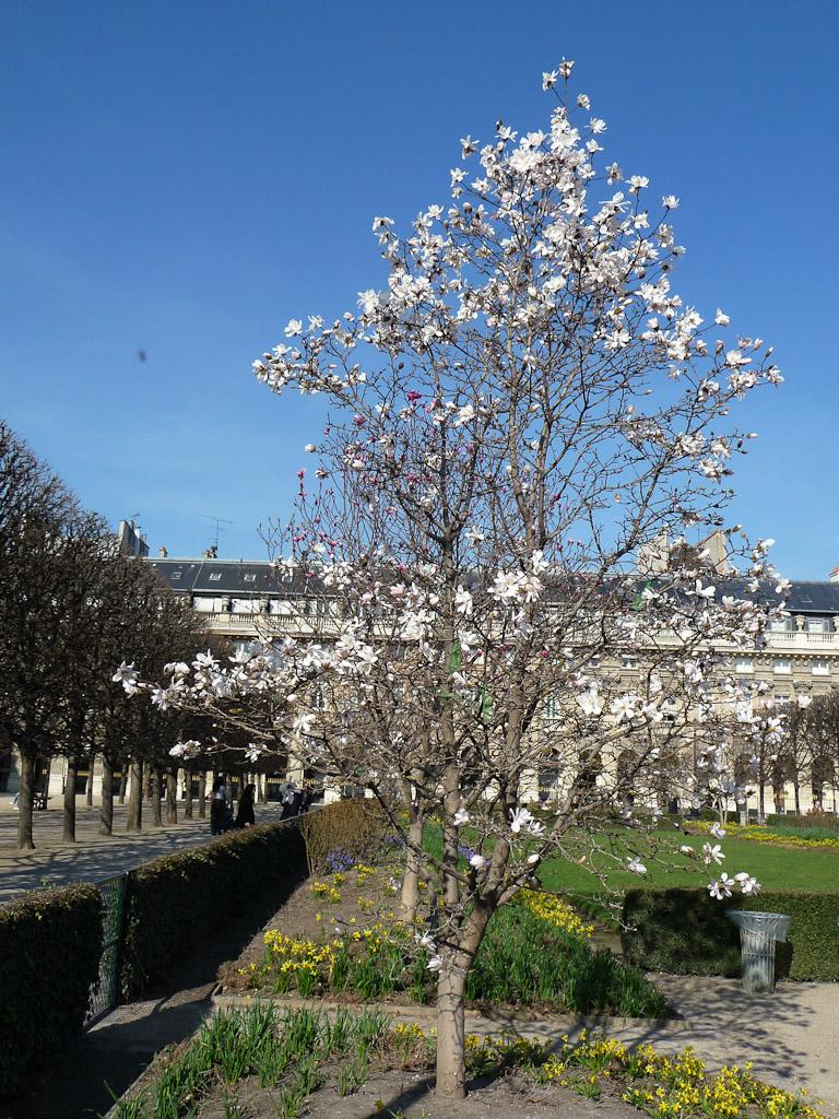 Magnolia fleuri dans le jardin du Palais Royal en fin d'hiver, Paris 1er (75)
