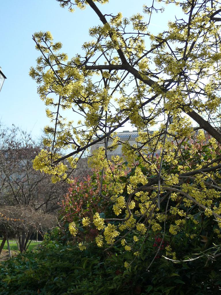 Cornouiller mâle (Cornus mas) en pleine floraison dans le square de la Tour Saint-Jacques à la fin de l'hiver par une belle journée ensoleillée, Paris 4e (75)