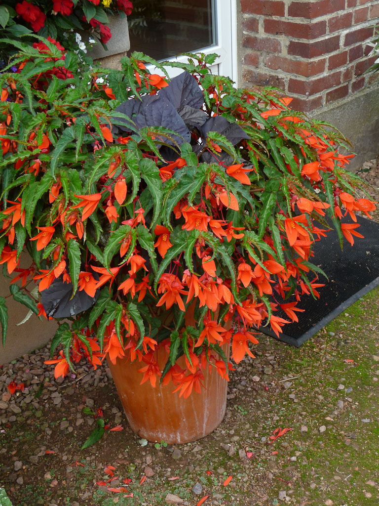 Grosse potée de Begonia Summerwings 'Orange', Jardin Express (Bouvincourt, Somme), fleurs du catalogue Printemps 2011