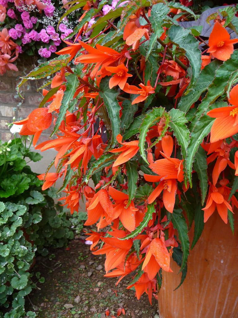 Begonia Summerwings 'Orange', Jardin Express (Bouvincourt, Somme), fleurs du catalogue Printemps 2011
