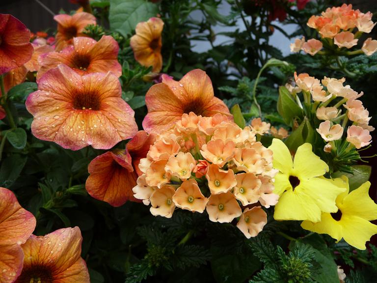 Petunia Supercal 'Terracotta', verveine Sun Jericho Orange pastel et thunbergia jaune, Jardin Express (Bouvincourt, Somme), fleurs du catalogue Printemps 2011