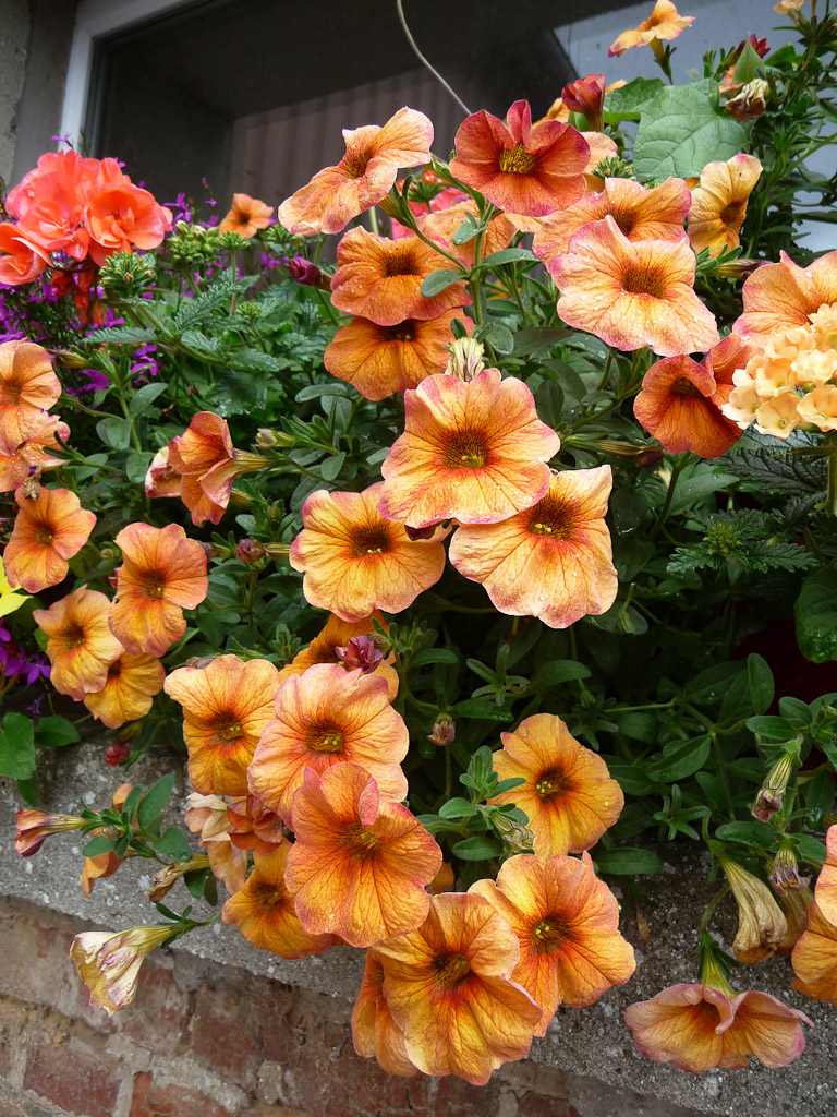 Petunia Supercal 'Terracotta', Solanacéees, Jardin Express (Bouvincourt, Somme), fleurs du catalogue Printemps 2011
