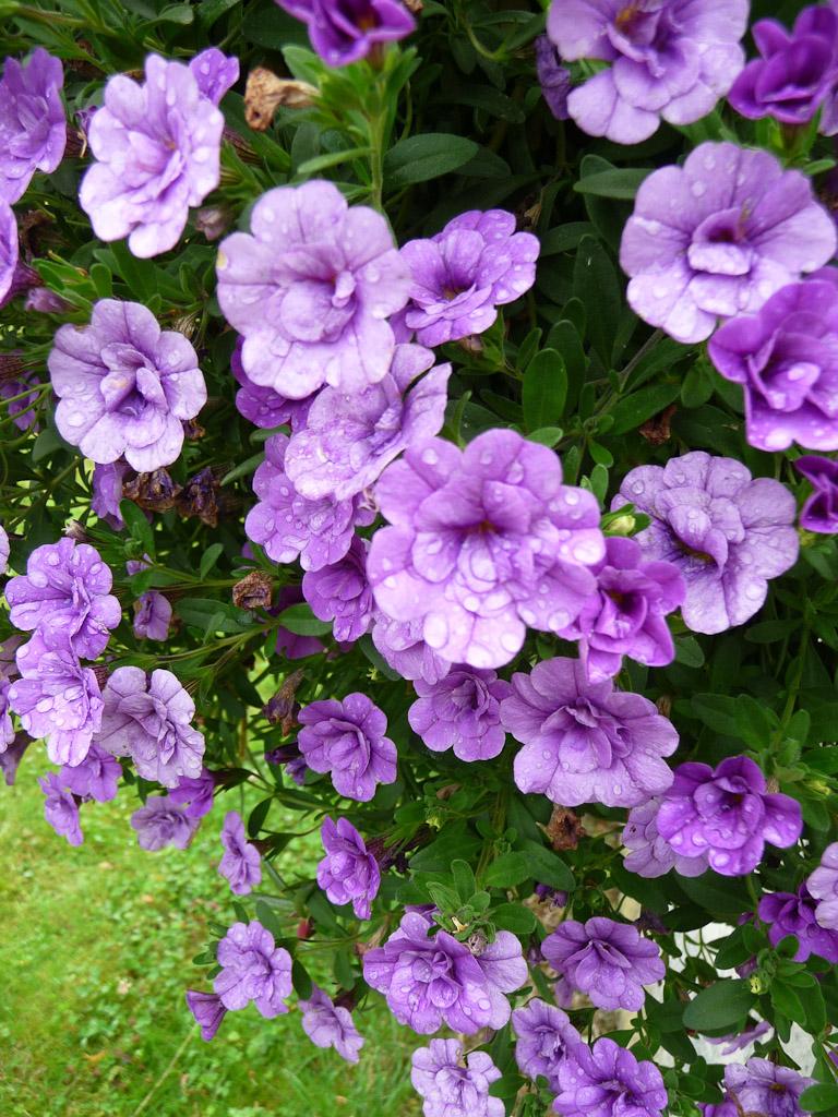 Calibrachoa MiniFamous 'Amethyst', Jardin Express (Bouvincourt, Somme), fleurs du catalogue Printemps 2011
