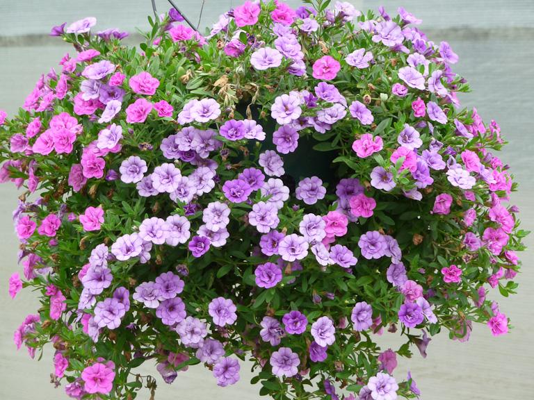 Calibrachoa MiniFamous 'Amethyst' et 'Rose', Jardin Express (Bouvincourt, Somme), fleurs du catalogue Printemps 2011