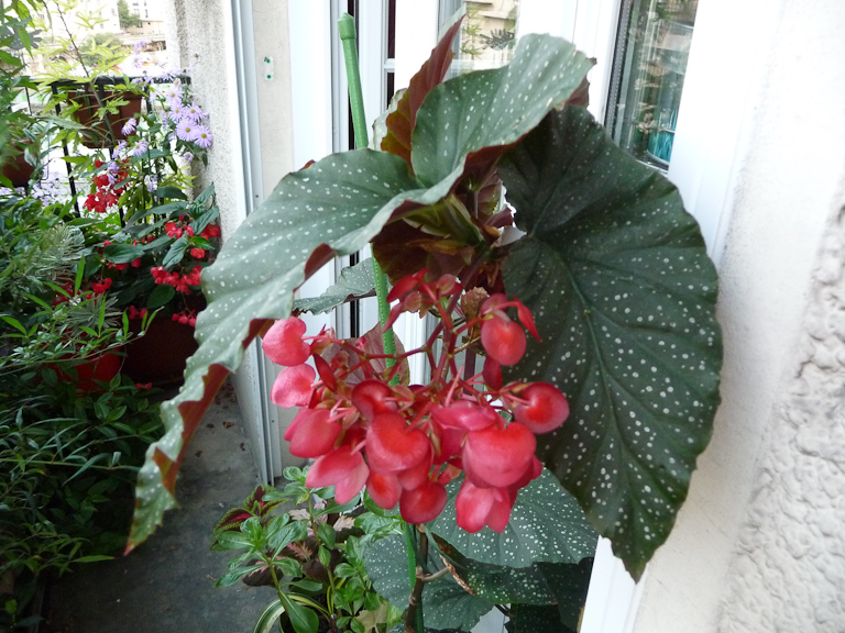 Floraison de mon Begonia x 'Lucerna' sur mon balcon en fin d'été