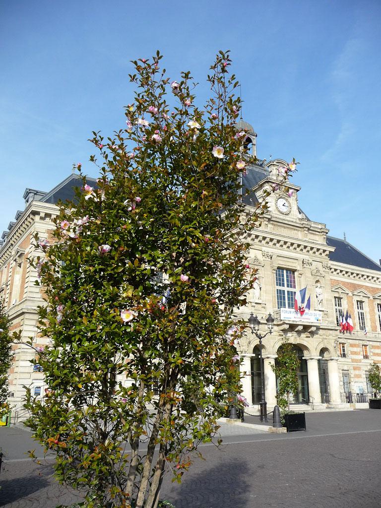 Camellia sasanqua sur la place Armand Carrel, devant la Mairie, Paris 19e (75)