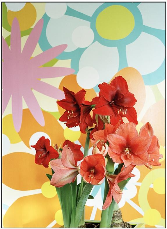 Amaryllis (Hippeastrum) forcé, photo Office Hollandais des Fleurs