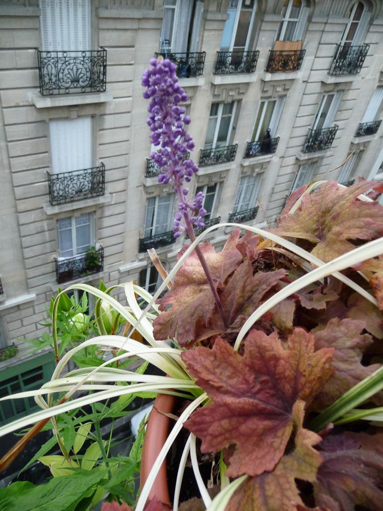 Épi de Liriope muscari 'Variegata' sur mon balcon en fin d'été (Paris 19e), Paris côté jardin