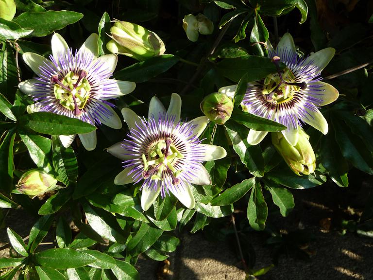 Fleurs de la passion (Passiflora caerulea), rue d'Ankara, Paris 16e (75)