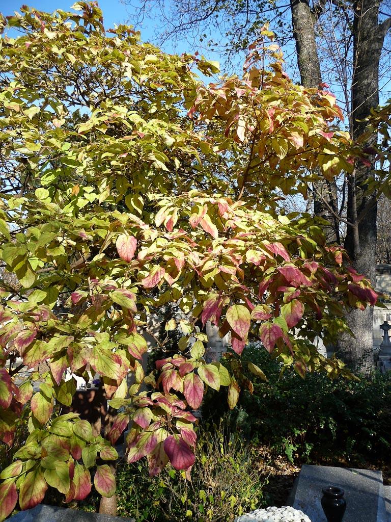 Clerodendron trichotomum en automne, cimetière de Montmartre, Paris 18e (75)