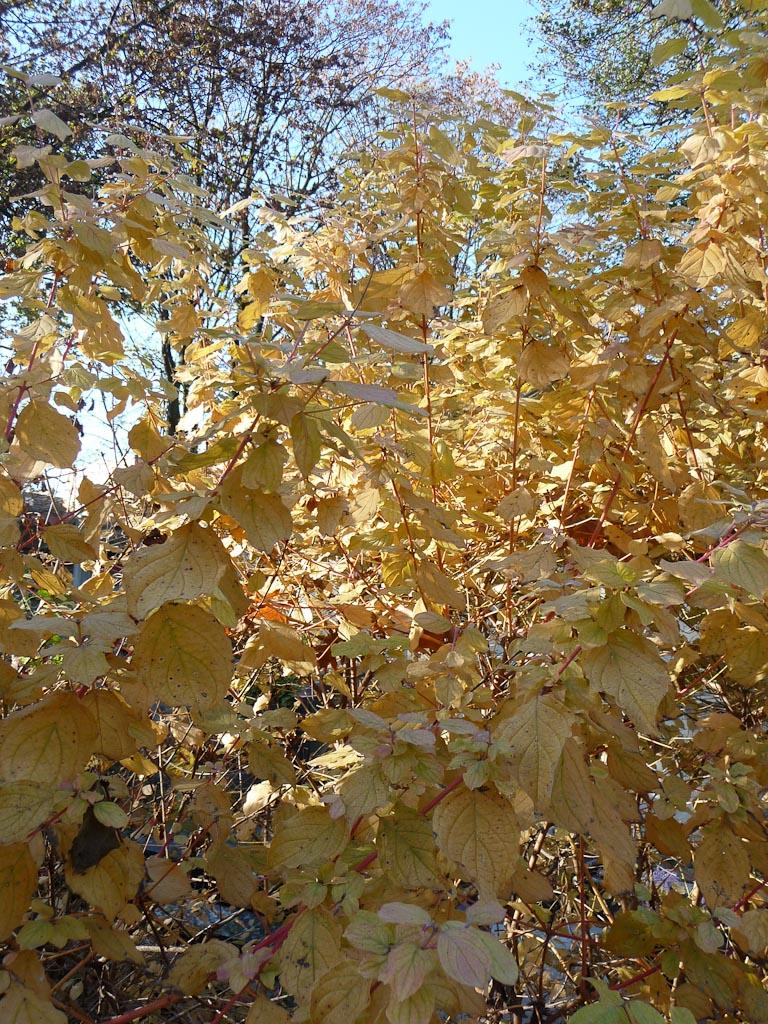Feuillage doré d'un cornouillier (Cornus) dans le cimetière de Montmartre en automne par une belle journée ensoleillée, Paris 18e (75)