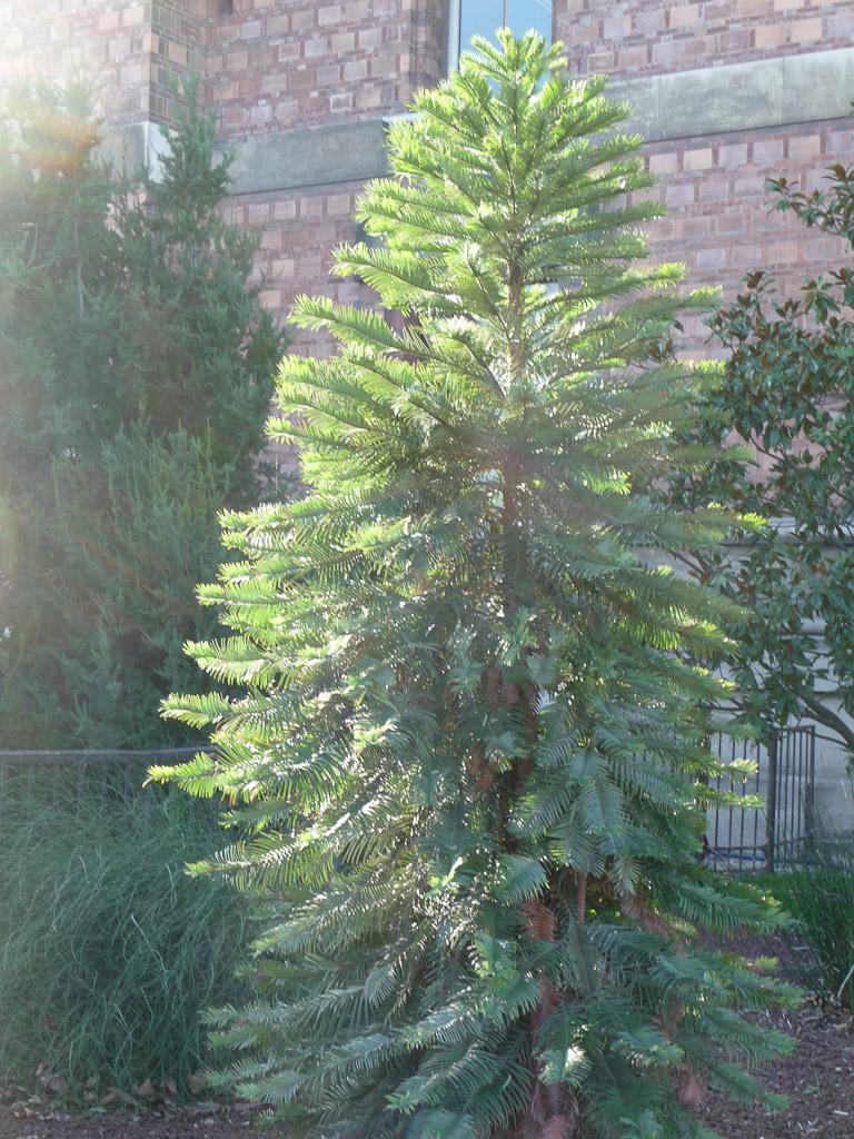 Pin wollemi (Wollemia nobilis) sous le soleil en hiver dans le Jardin des Plantes de Paris, Paris 5e (75)