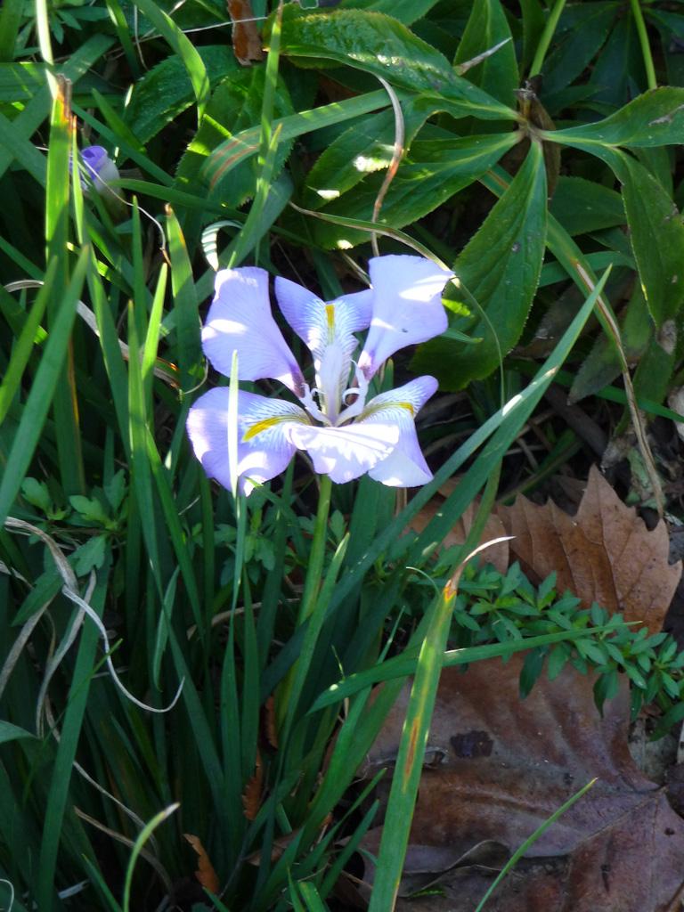 Iris d'Alger (Iris unguicularis) fleuri en hiver dans le Jardin des Plantes de Paris, Paris 5e (75)