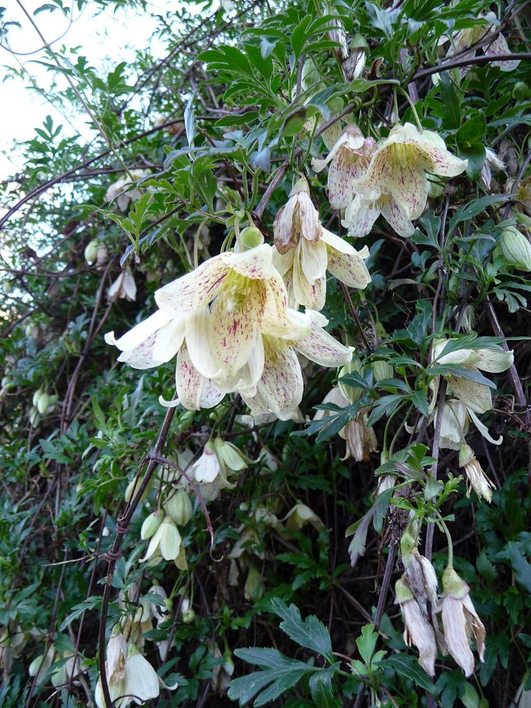 Clématite cirreuse (Clematis cirrhosa) en hiver dans le Jardin des Plantes de Paris, Paris 5e (75)