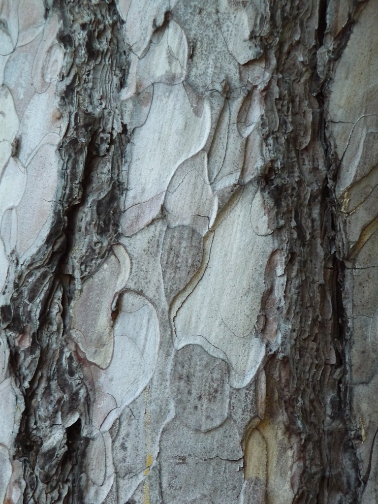 Écorce d'un pin en hiver dans le Jardin des Plantes de Paris, Paris 5e (75)