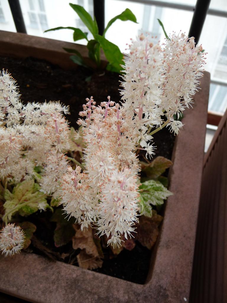 Tiarellas 'Mystic Mist' et 'Heronswood Mist' sur mon balcon au début du printemps, Paris 19e (75)