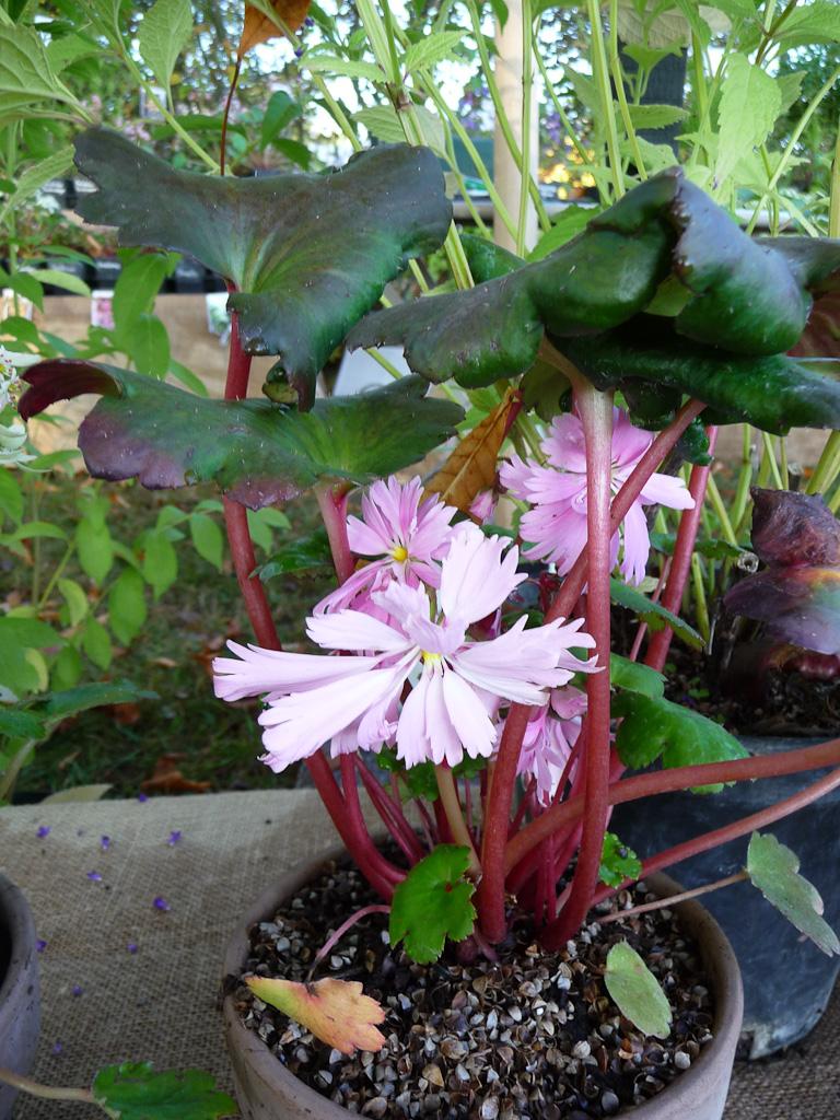 Saxifraga fortunei var. incisolobata 'Mai hime', Pépinière Sous un arbre perché, Journées des plantes de Courson automne 2011, Essonne