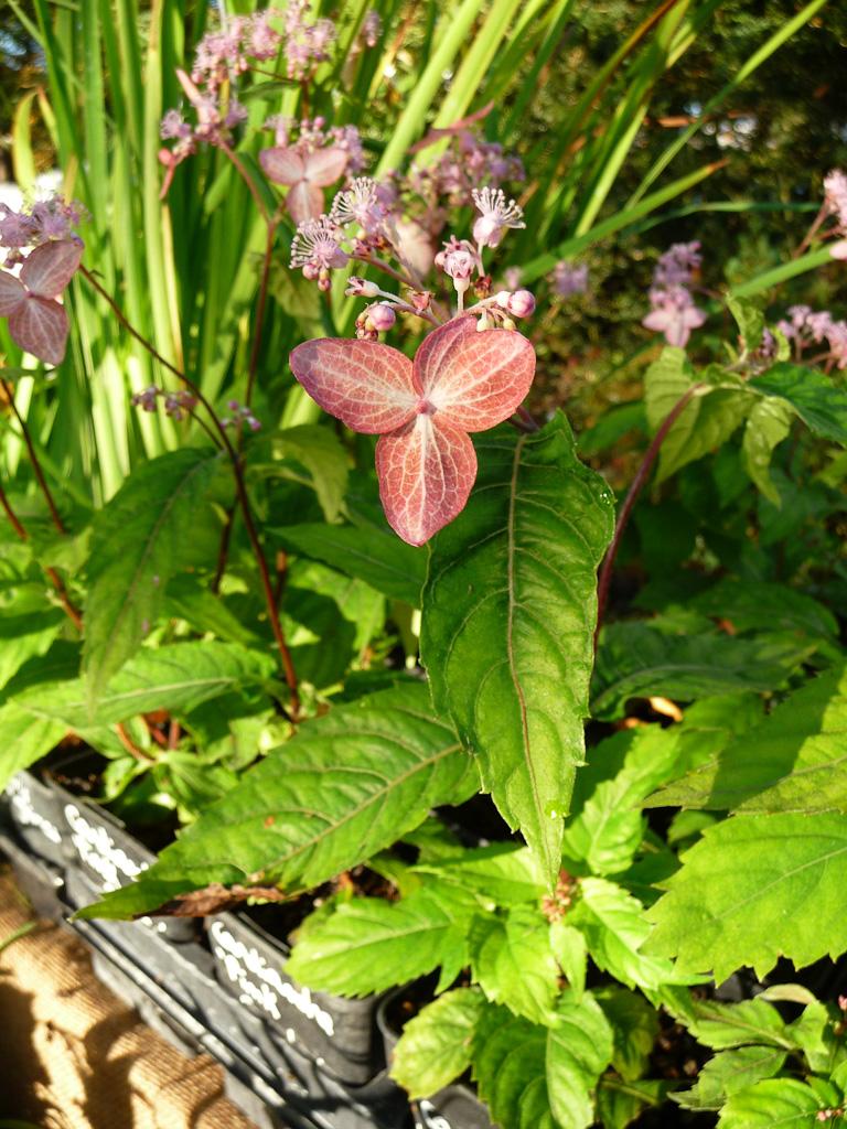 Cardiandra alternifolia 'Pink Geisha', Pépinière Sous un arbre perché, Journées des plantes de Courson automne 2011, Essonne