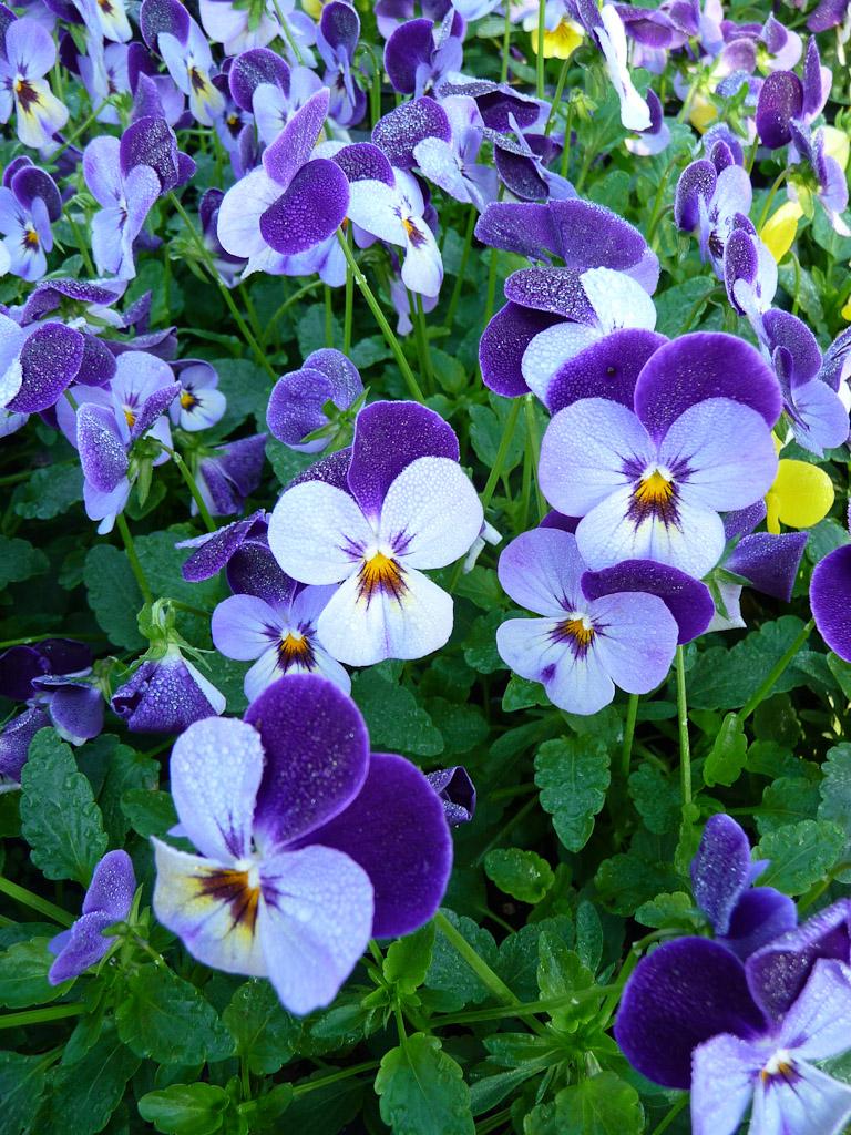 Violette cornue (Viola cornuta), Journées des plantes de Courson automne 2011, Essonne