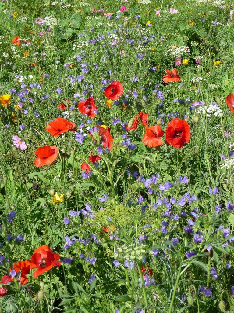 Coquelicots dans le labyrinthe fleuri de Novaflore, Journées des plantes de Courson automne 2011, Essonne
