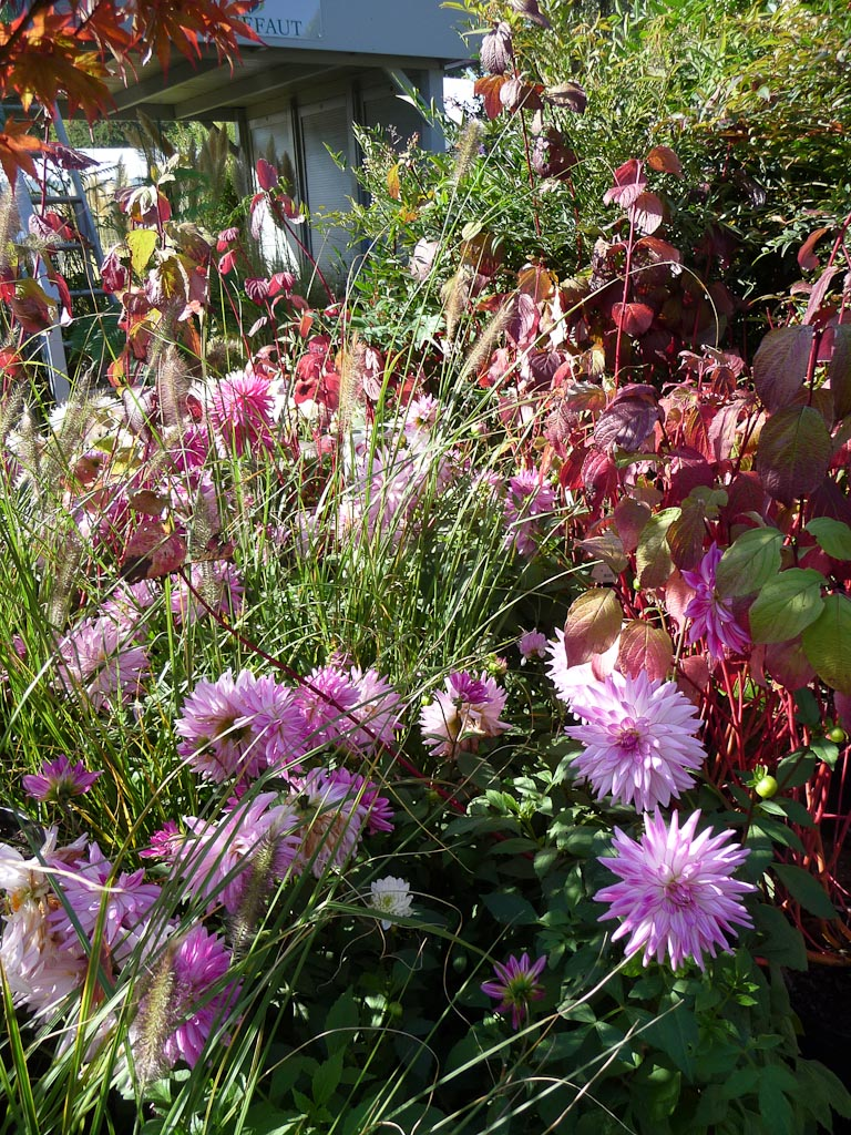 Dahlia, graminées et cornouiller, Jardin Truffaut, stand 139, Journées des plantes de Courson automne 2011, Essonne