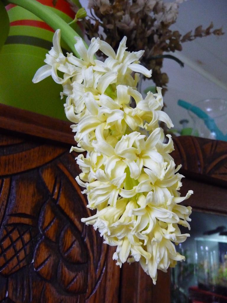 Potée de jacinthe forcée à fleurs jaunes