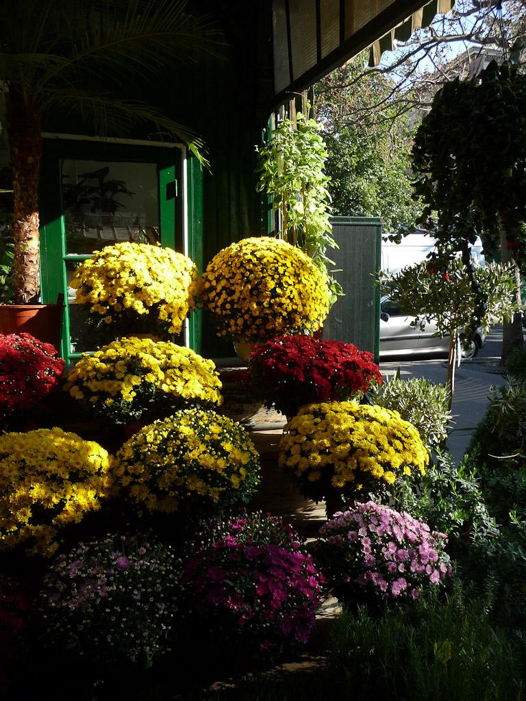 Étal de potées de chrysanthèmes à petites fleurs, Marché aux fleurs, île de la Cité, Paris 1er (75)