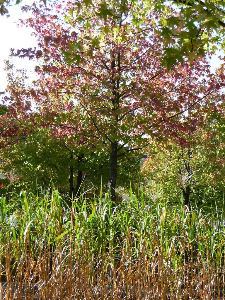 Liquidambar avec ses couleurs d'automne entouré d'un tapis de Miscanthus, parc de la Villette, Paris 19e (75), octobre 2011, photo Alain Delavie