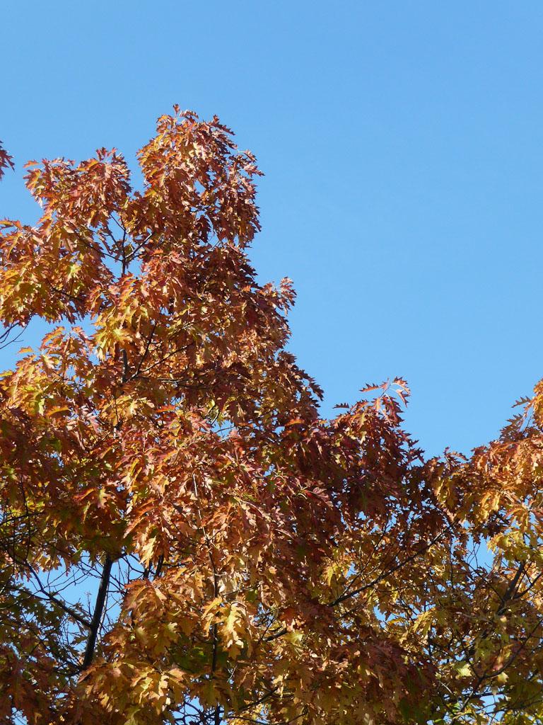 Chêne américain avec ses couleurs d'automne dans le parc de la Villette, Paris 19e (75)