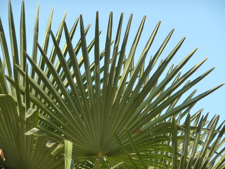 Palmier dans le jardin des Tuileries, Paris 1er (75)