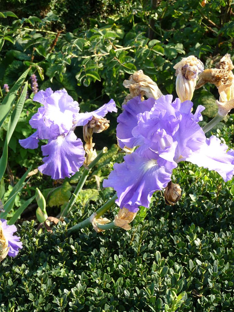 Iris dans le Jardin des Tuileries en automne