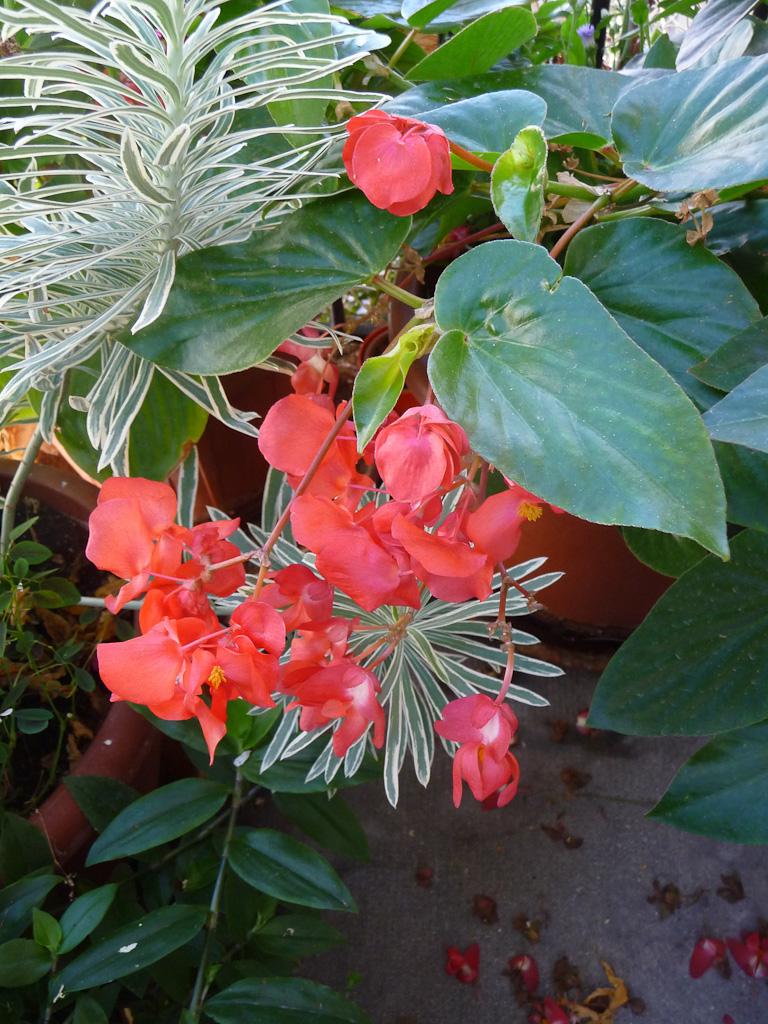 Bouquet de fleurs de mon bégonia Dragon Wing sur mon balcon en automne