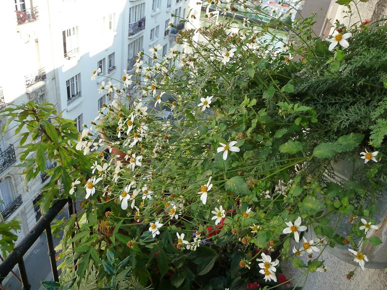 Suspension de Bidens ferulifolia 'Pirate's Pearl' sur mon balcon en automne