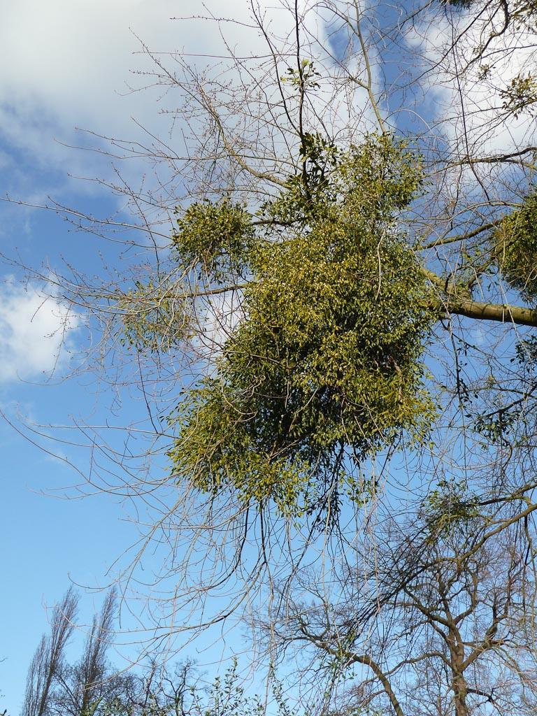 Gui dans un arbre du Parc floral de Paris en fin d'automne, Paris 12e (75)