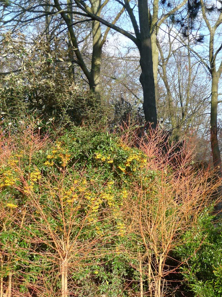 Pyracanthas et cornouillers, parc floral de Paris en fin d'automne, Paris 12e (75)
