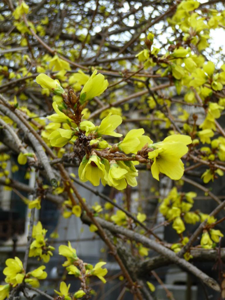 Forsythia fleuri dans le cimetière du Père Lachaise en fin d'hiver, Paris 20e (75)
