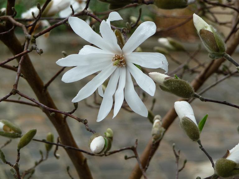Magnolia étoilé (Magnolia stellata) dans le cimetière du Père Lachaise en fin d'hiver, Paris 20e (75)
