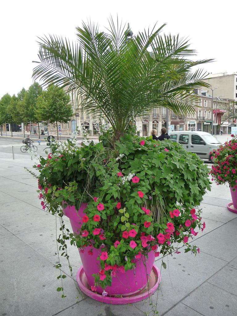 Grosse potée rose avec pétunias Surfinia et palmier dans Amiens en fin d'été (Somme), 18 septembre 2011, photo Alain Delavie